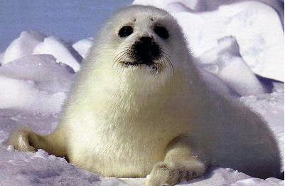 foca.png